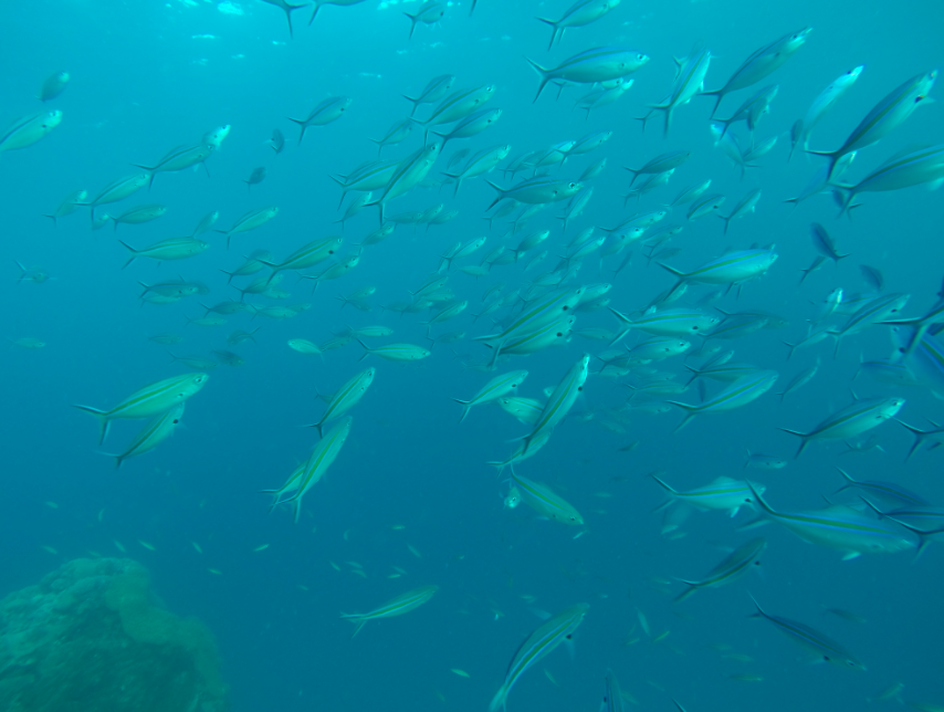 A group of fish swimming in the blue sea
