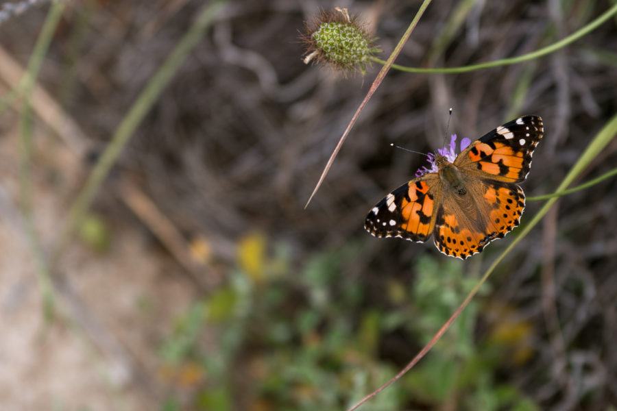 Monarch butterfly in focus on a bush, bush blurred