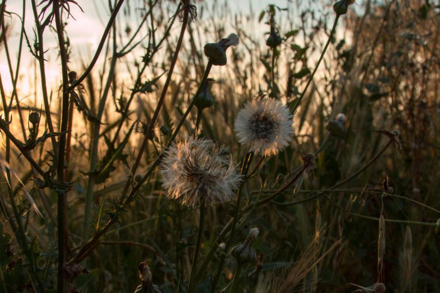 Dandelions in the setting golden sun