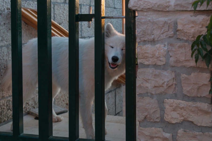 A fluffy white dog trying to poke its head through the gate