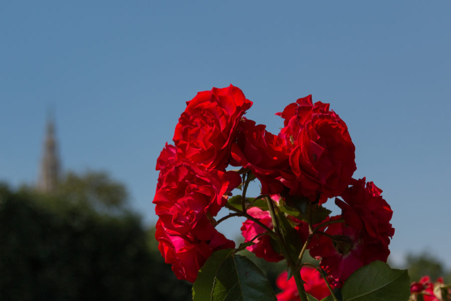 Red roses and a blue sky backdrop
