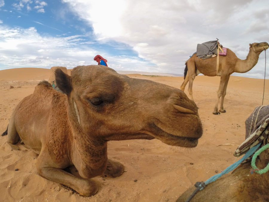Close up of the camels