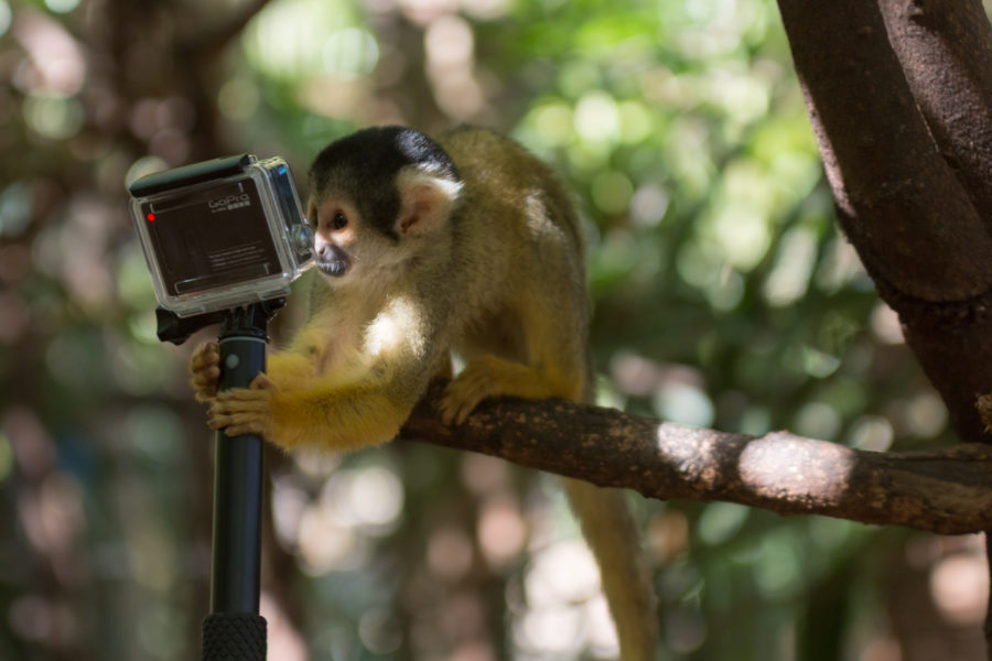Squirrel monkey checking himself out in the gopro