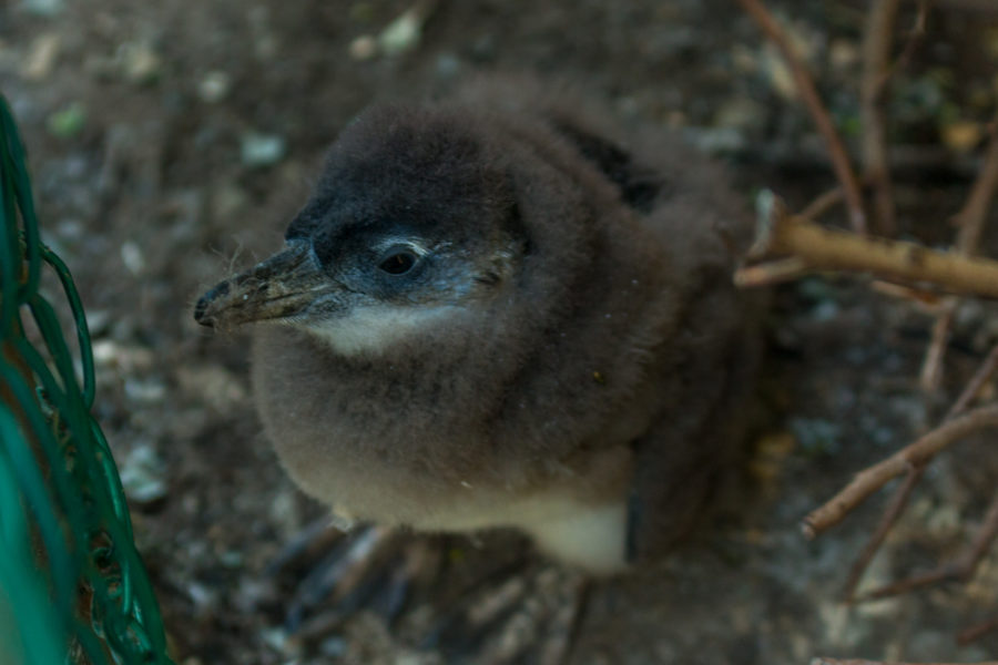 ultra fluffy baby penguin who is starting to lose his fluff!