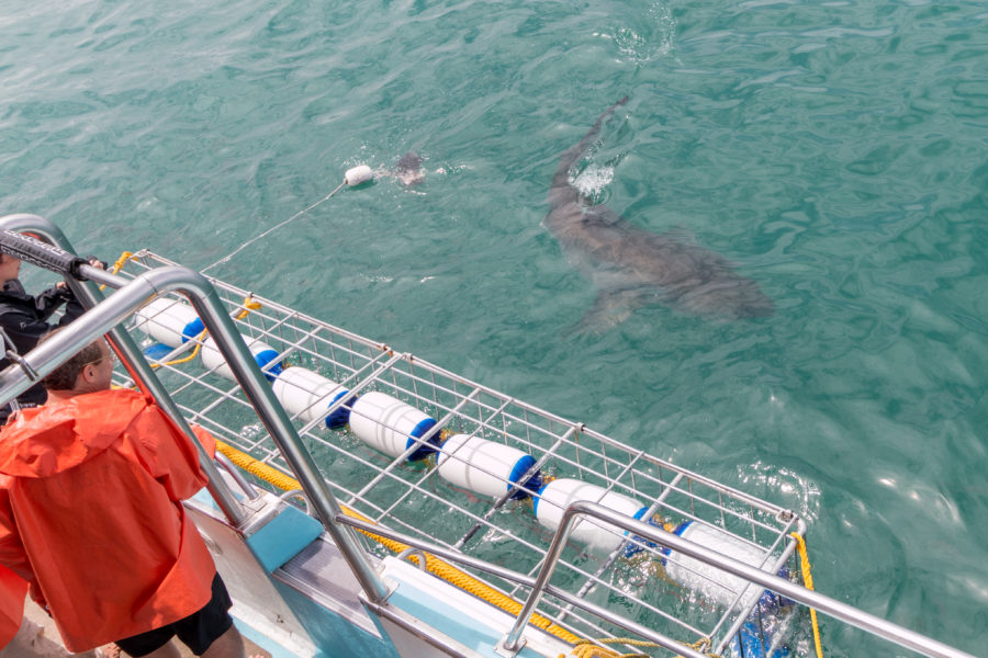 4m great white swimming by the boat