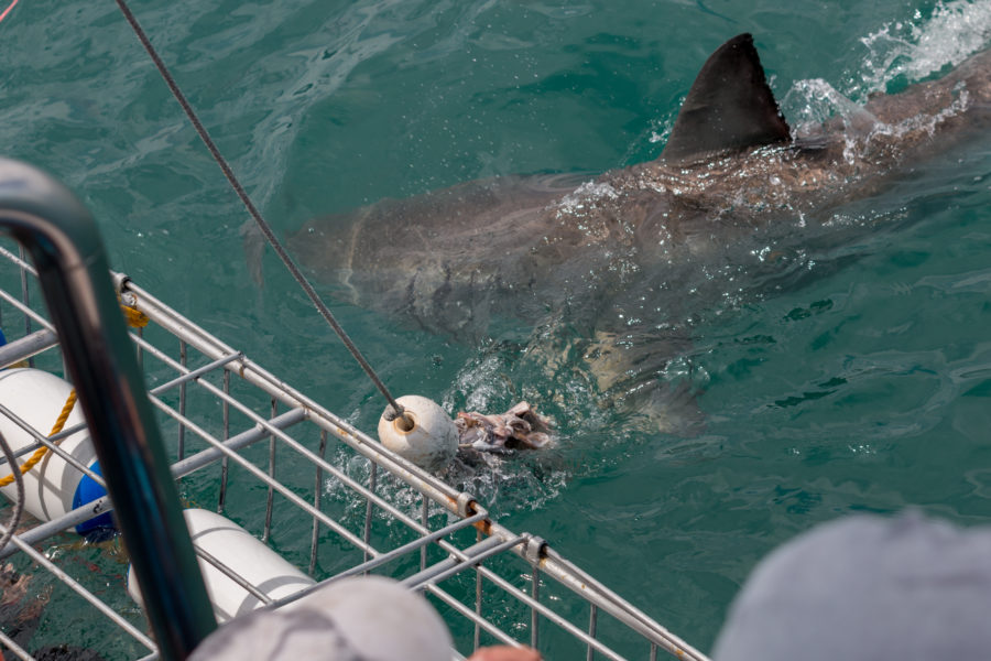Great white super close to the shark diving cage