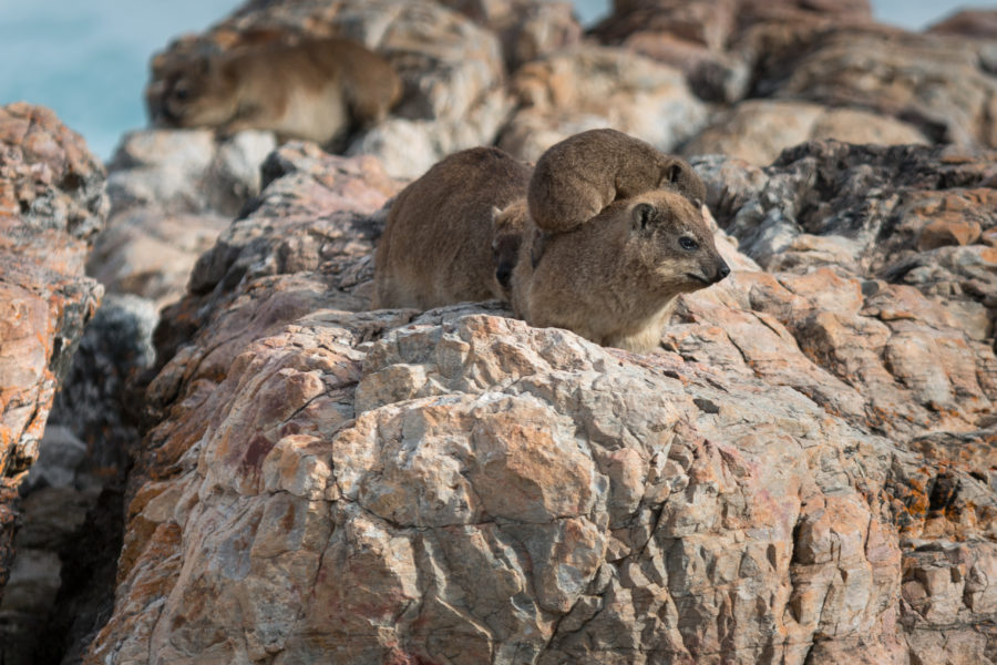 Hyrax dassies, rodent looking critters on the rocks