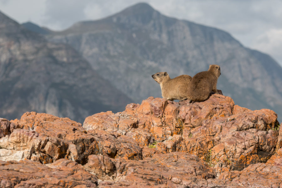 Hyrax dassies on the rocks looking majestic