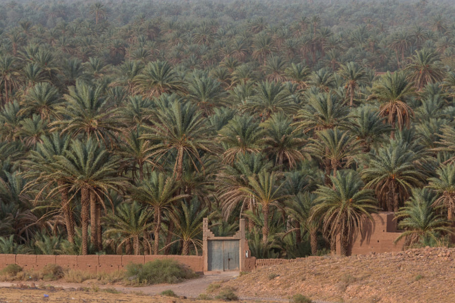 Date palms as far as the eye can see in the Draa Valley