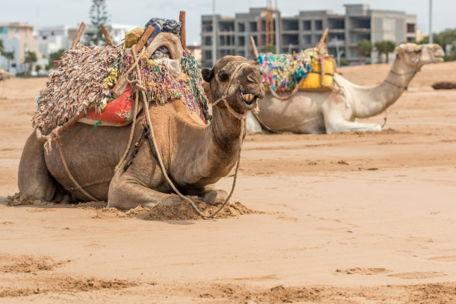 Camels on the sand