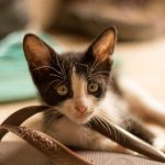 Black and white tiny kitten resting its head on the thong strap