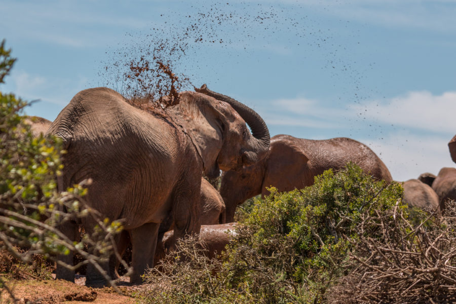 Mud going flying from an elephant trunk