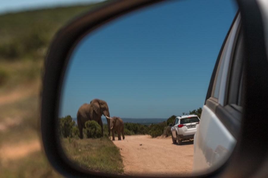 Bull elephant and baby elephant in the side mirror reflection