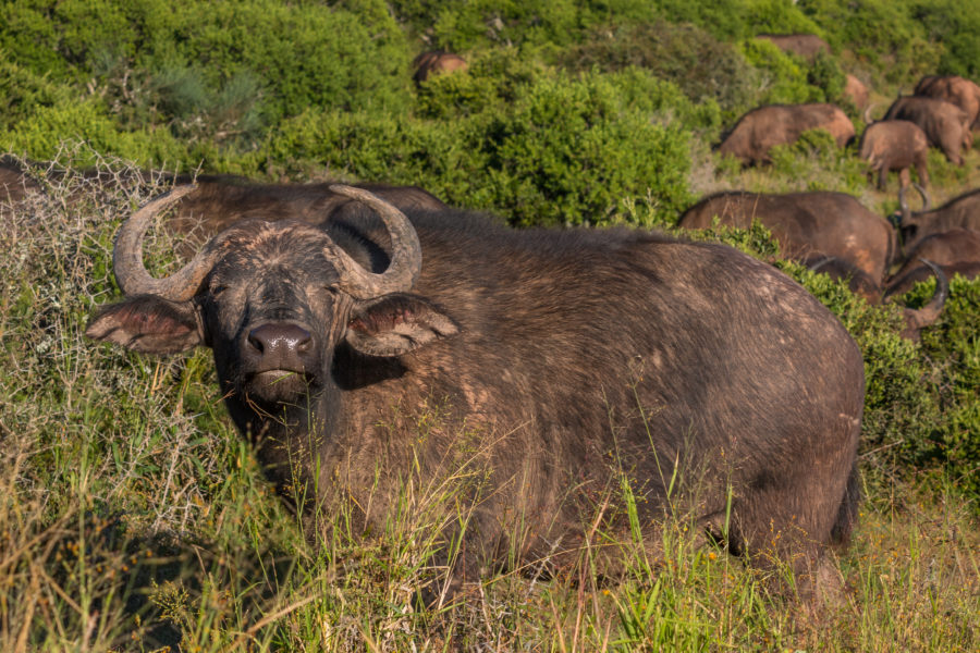 buffalo squinting at the camera as it sniffs us on the breeze