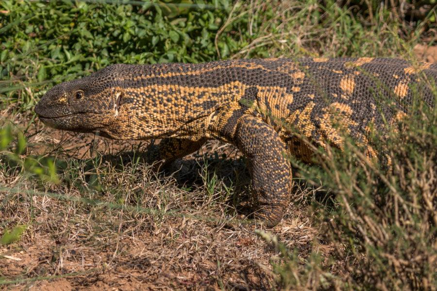 lizard on the prowl