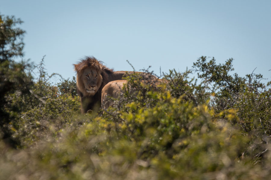 Male lion following the lioness into the bushes