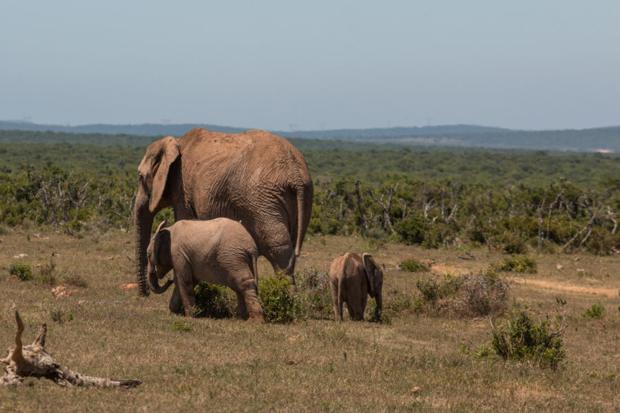 mum elephant walking with her 2 young babies