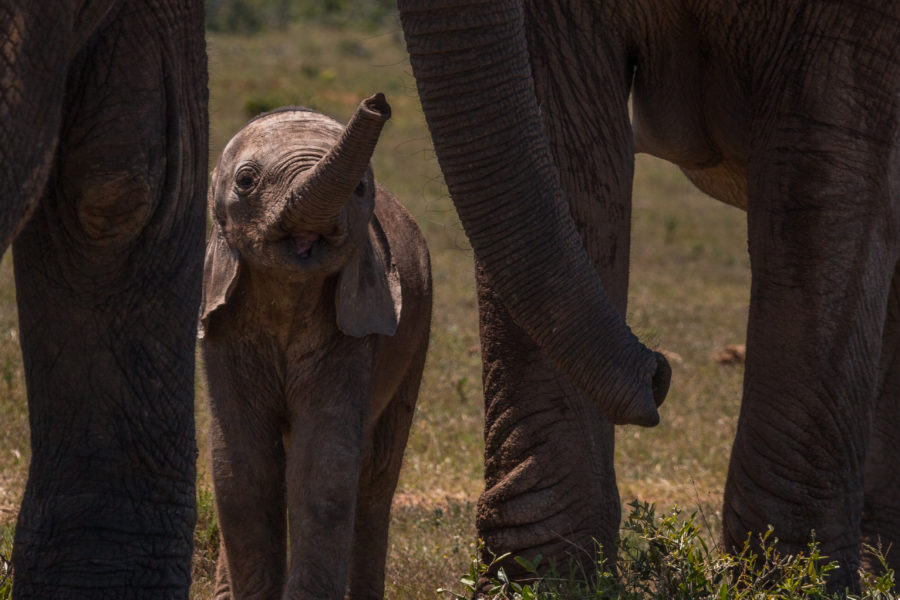 Baby elephant holding its trunk out to sniff the other elephant