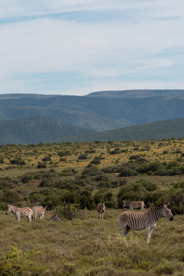 Mountain ranges in the backgound, zebra scattered across the foreground