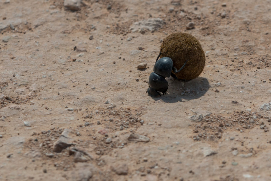 Dung beetle rolling its shit ball uphill