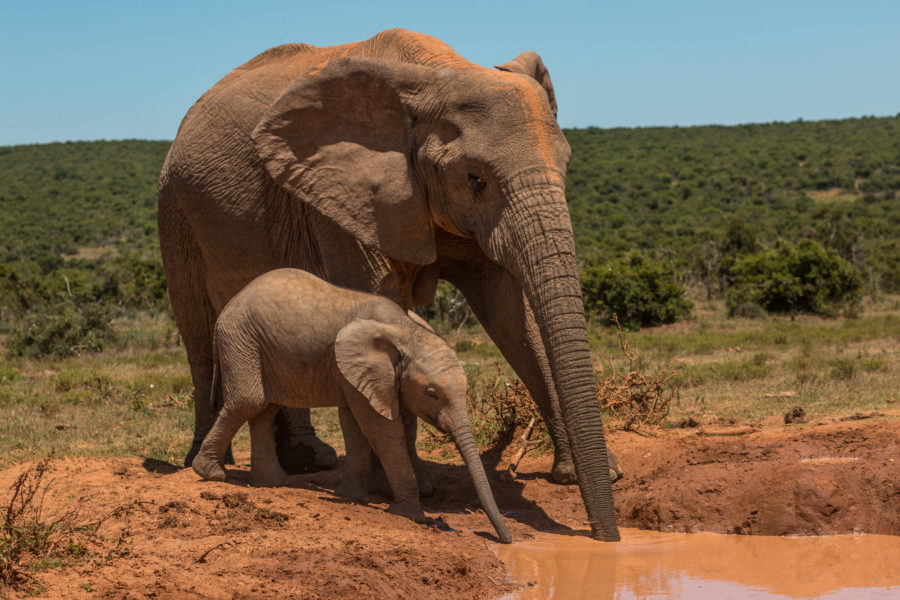 Mother and baby elephant at the mud waterhole