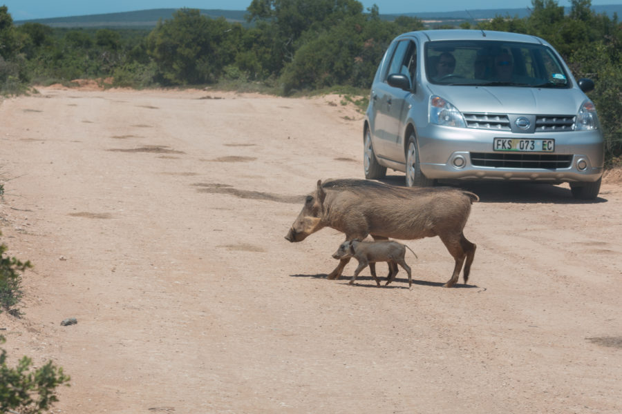Mother and baby warthog crossing the road