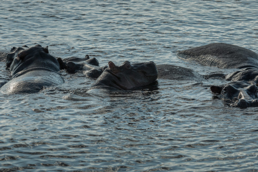 Hippos poking their heads out of the river