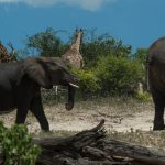 Elephant walking in front of a bush with a giraffe behind