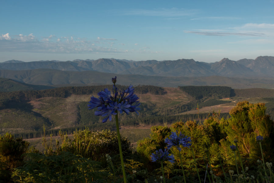 Agapanthus in focus, purple flowers and mountains in the background