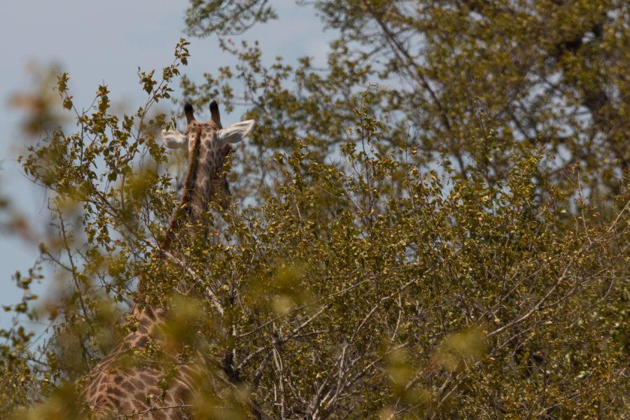 Girafe head in the sky