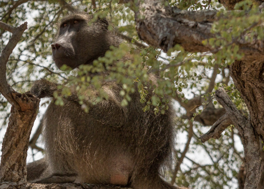 Baboon sitting in the tree keeping watch
