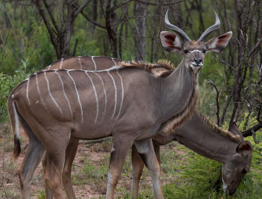 Kudu striped with white