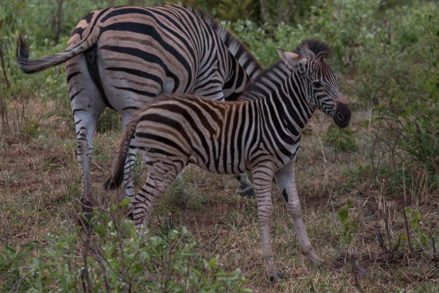 Baby zebra standing next to mumsy