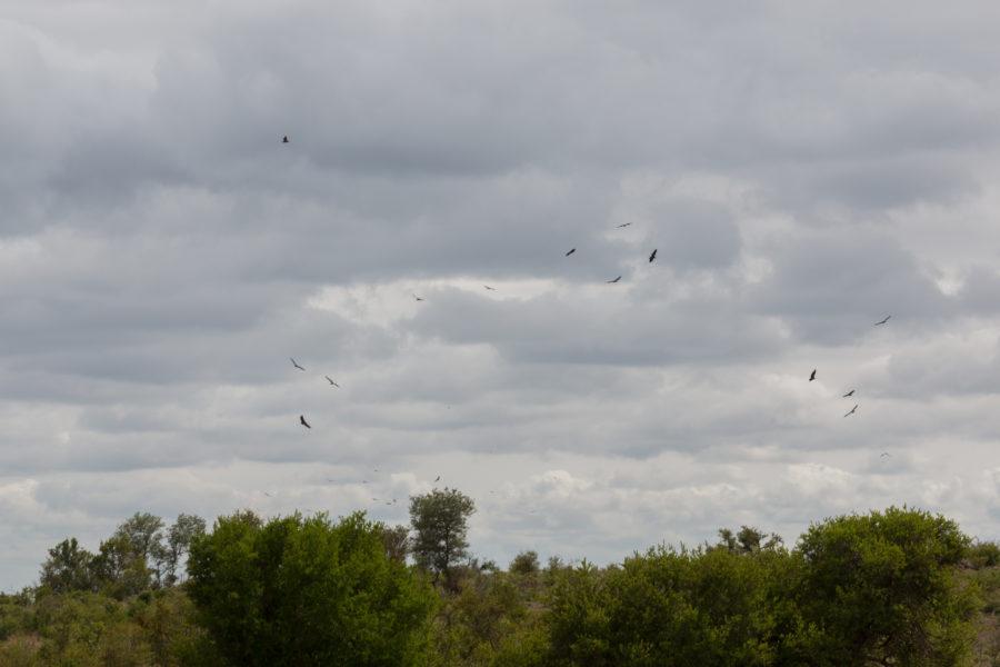 hawks circling