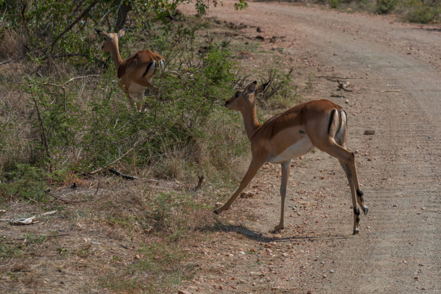 Antelope running across the road