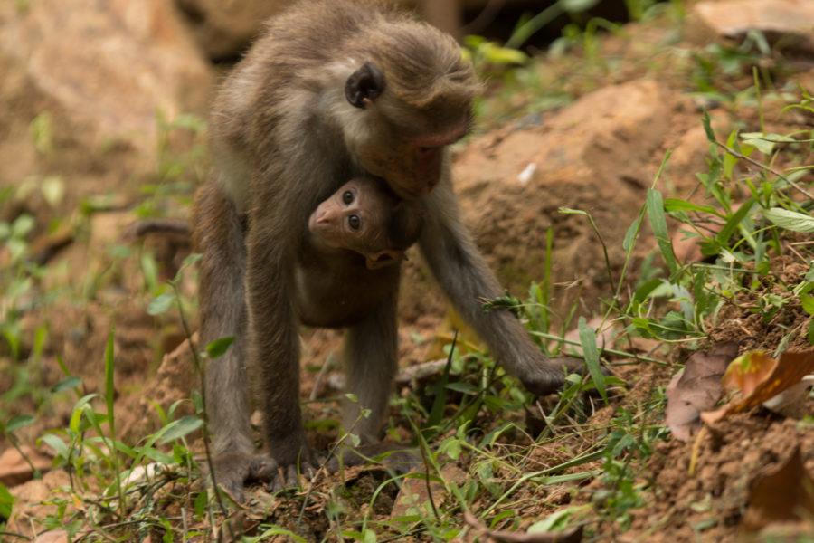 Baby monkey hugging mumma monkey