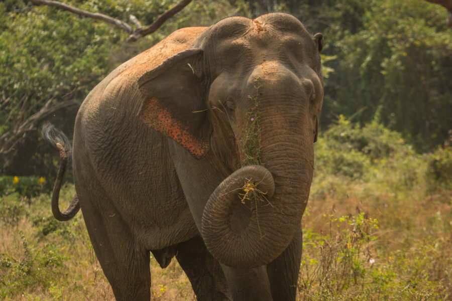 Elephant with roots in its trunk