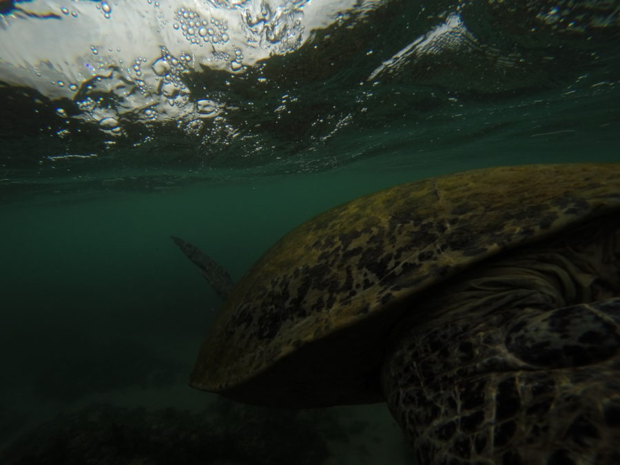 Big turtle swimming underwater