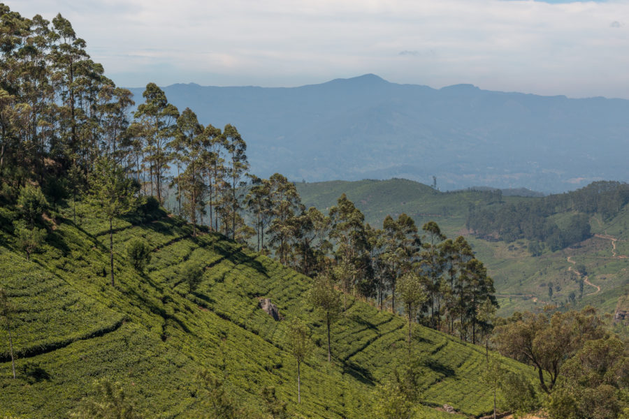 Hills on hills of tea bushes