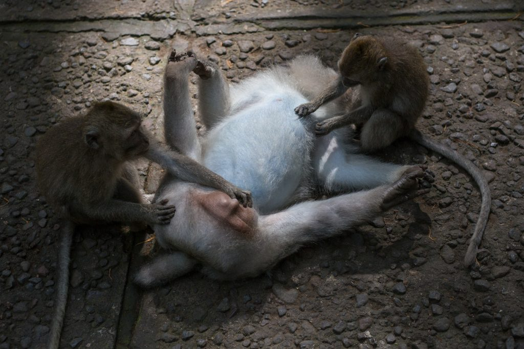Male monkey laying on his back holding his feet with his hands being groomed by two monkeys