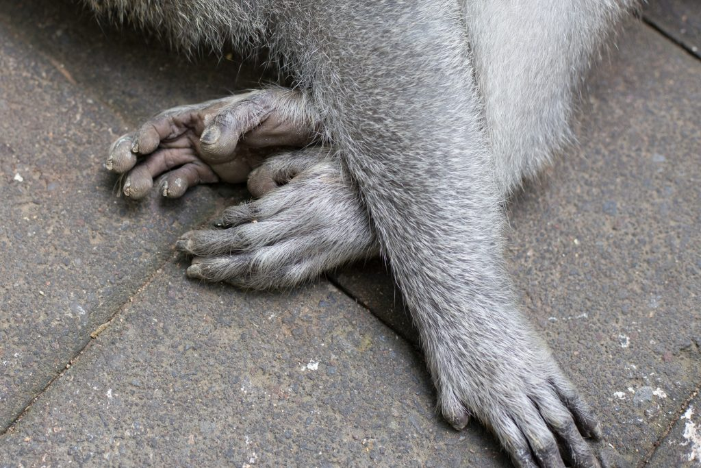 Close up of a monkeys hands and feet, so similar to a humans