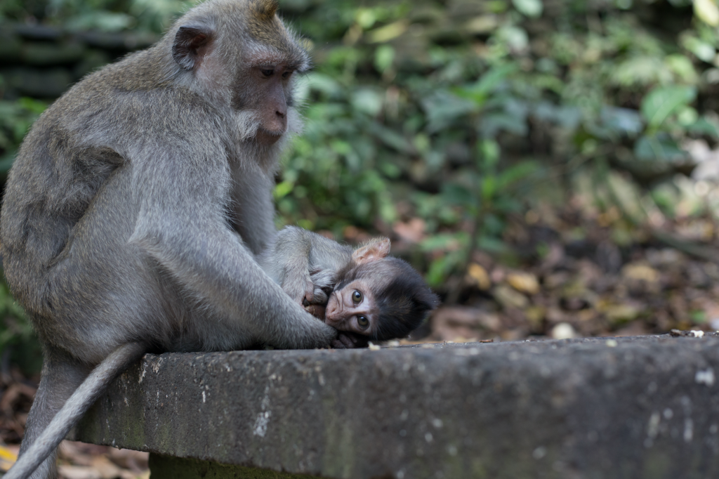 Baby monkey laying on the ground looking at the camera while tucked in close to mum