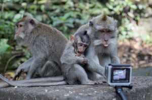 Cheeky monkeys, mum poking her tongue at the go pro, baby chewing a nut