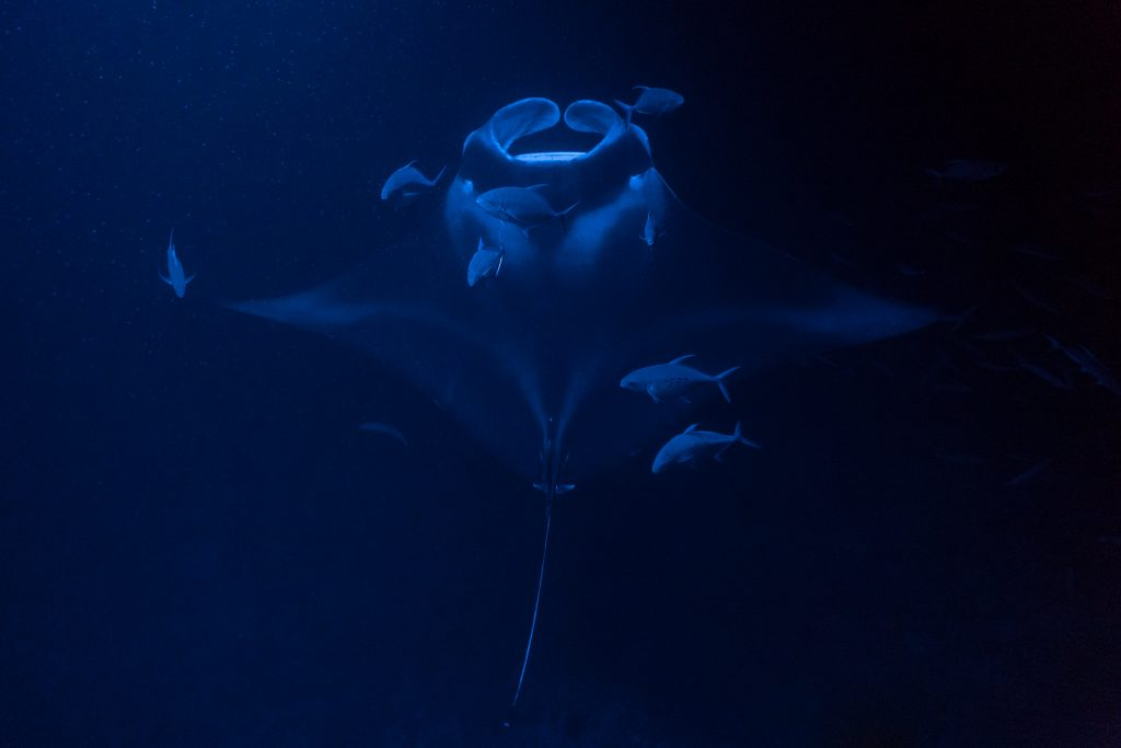 The Hawaii Series – Manta Ray Night Snorkel Kona, Big Island
